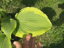 HOSTA AMERICAN ICON - 20 SEEDS - green leaves with rippled yellow margins