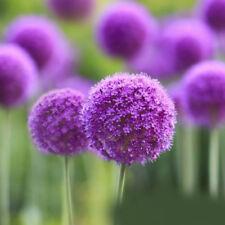 10PC Natural Purple Flower Allium Seeds Perennial Plant Magent Yard Garden Decor