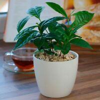 *Healthy* Tea Plant (Camellia sinensis) 10  Plant Seeds
