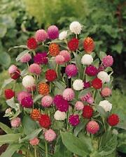 Flower Seed: Higro Mix Gomphrena Seeds 40 Seeds Fresh Seed Free Shipping