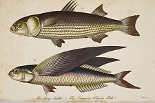 Gravure coloriée déb XIX° M. BLOCH  Mulet Tang Poisson Volant Common Flying Fish