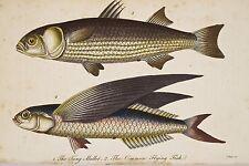 Gravure coloriée déb XIX° M. BLOCH Mulet Tang Poisson Volant Common Flying Fish
