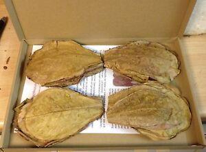 """~100 Pieces (=100 Gram ~5"""") PREMIUM INDIAN ALMOND CATAPPA LEAVES discus, shrimpS"""