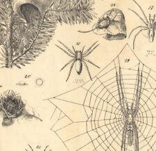 1880 Lithographie originale Araignées Cocon Toile Aranéides Insectes