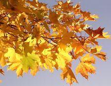 Norway Maple Acer platanoides 20 seeds fresh UK grown seed Autumn colour Bonsai