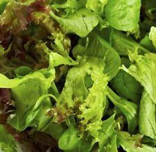 COMBINATION Lettuce - Cos Mignonette & Butterhead plants – 6cell seedling punnet