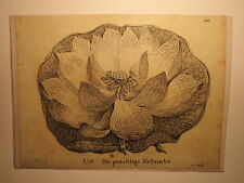 Die prächtige Nelumbo - Lotusblume / Druck 1826