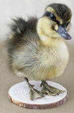 N4 Rouen Domestic Duck Duckling wood mount Specimen curiosities oddities decor