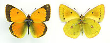 MOUNTED SPREAD BUTTERFLY - Colias aurorina sovarensis, male, RARE