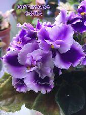 African Violet Plant * Optimara Cora * Standard