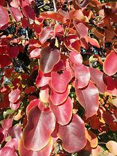 Wild Pear tree PYRUS PYRASTER edible fruit wildlife plant, hardy, Autumn colour