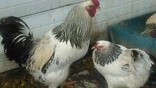 "Brahma Chicken Eggs .For Hatching  1 dozen "" King of the chickens"""
