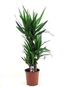 Yucca elephantipes - Riesen-Palmlilie - Yuccapalme - Palmlilien