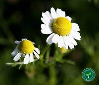 100 seeds of Chamomile - MATRICARIA CHAMOMILLA - Camomile + 5 seeds Sunflower