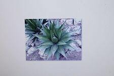 5 Samen Agave horrida subsp. horrida,Mexcalmetl,Mescal, # 12