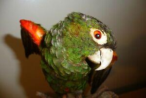 Fiery-shouldered parakeet or conure (Pyrrhura egregia)