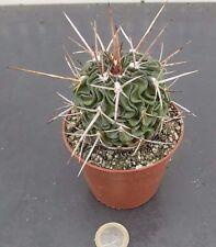 Echinofossulocactus lamellosus hastatus cm. 10 einschließlich dornen