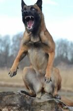 Navy Seal Team 6 & Cairo Belgian Malinois Training Fearless Glossy 8x10 Photo