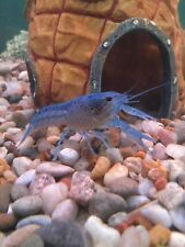 Two Beautiful Electric  Blue Lobster-Crayfish.  Free Shipping