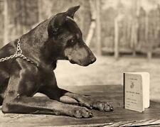 US MARINE CORPS WAR DOG TRAINING PHOTO DOBERMAN PINSCHER PVT DEAN 1943 #21231