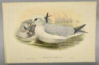 "Original Lithograph John Gould ""Birds of Great Britain"" - Procellaria Glacialis"