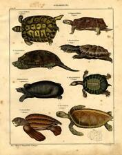 1843 OKEN HC LITHOGRAPH superb turtles, tortoises, leatherback, matamata, ...
