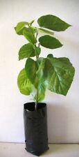 Tree Tropical Medium Watering Fruit Plants