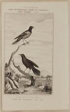 BUFFON OISEAU BIRD BALTIMORE ORIOLE ICTERUS GALBULA ORNITOLOGIA BIRDS UCCELLI