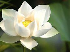 5 Snow White Lotus Seeds