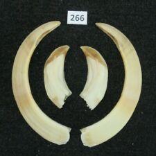 Wild boar tusks (no. 266), trophy, taxidermy, tooth, teeth