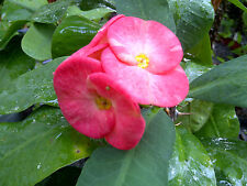 """Thai Crown of Thorns Pink Giant Cactus (euphorbia milii) Min. 8"""" Rooted Plant"""