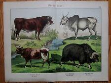 SCHUBERT: Large Plate Zoology Cow Zebu - 1890