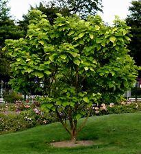 Gold-Trompetenbaum Catalpa bignoniodes 'Aurea ' 80 - 100 cm im 7,5 Liter Co