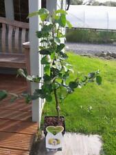 Dwarf Patio Cydonia Oblogna 'Vranja' Quince Tree In 5L Pot, Make Tasty Pies
