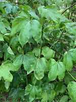 VERY HEALTHY Organic Chaya Plant, Miracle Spinach Tree, Superfood