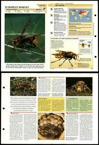 European Hornet #45 Insects Wildlife Fact File Fold-Out Card