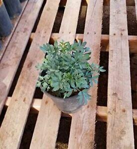 9EzTropical - Ruda Plant - Common Rue (Ruta graveolens) Herb of Grace - Ship in