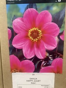 Dahlia selection of 8 different varieties to choose from