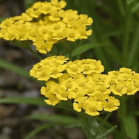 2000 Gold Yarrow Wildflower Seeds - Everwilde Farms Mylar Seed Packet