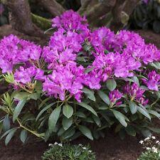 Rhododendron-Hybride 'Roseum Elegans' 4 L Topf gewachsen ca. 50cm