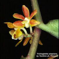 T36 Trichoglottis amesiana Bare Root S43