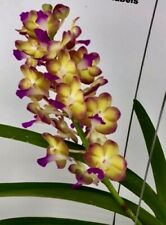 Vanda ´Sunshine Smile ´Selection New Scent Bloom-Strong Orchid Orchids