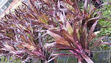 Bromeliad Billbergia Hallelujah Exotic Tropical Plant