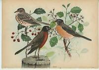 ANTIQUE ROBINS BIRDS MERULA MIGRATORIA FLOWERS HOLLY BERRIES PLANT OLD ART PRINT