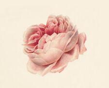 19C Rose Dutch Painting Flowers Quality Canvas Print
