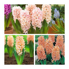 Gipsy Queen Hyacinth x 5 Bulbs.Indoor/Outdoor Bulb. Highly Fragrant.