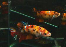 (AAA Grade) Premium Live Betta Fish Female Big Giant HMPK Galaxy Nemo