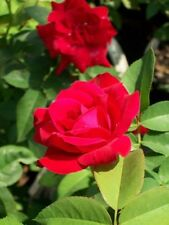 Dame de Coeur Cherry Red Hybrid Tea Rose 2 Gal Bush Plants Plant Landscape Roses