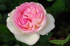 rosa Nelkenrose Pink Grootendorst robuste Strauch Rose kleine Blüten wurzelnackt