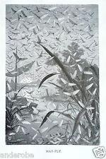 J.G.Wood,Cut 1885 Bw Mayflies/Mayfly/May Fly Fishing! Great Print L@K!